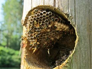 bee extermination boston