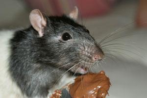 allston mice exterminator