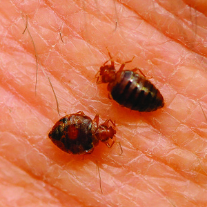 best boston bed bug treatment nw pest control With bed bugs boston