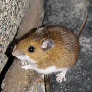 seasonal mice extermination