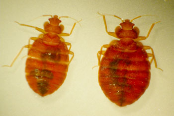 apartment bed bug extermination