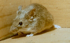 Mice Control | NW Pest Control