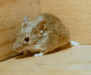 House Mouse | Residential Pest Control | NW Pest Control