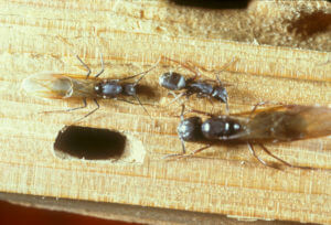 Winged Carpenter Ant | Residential Pest Contrl | NW Pest Control